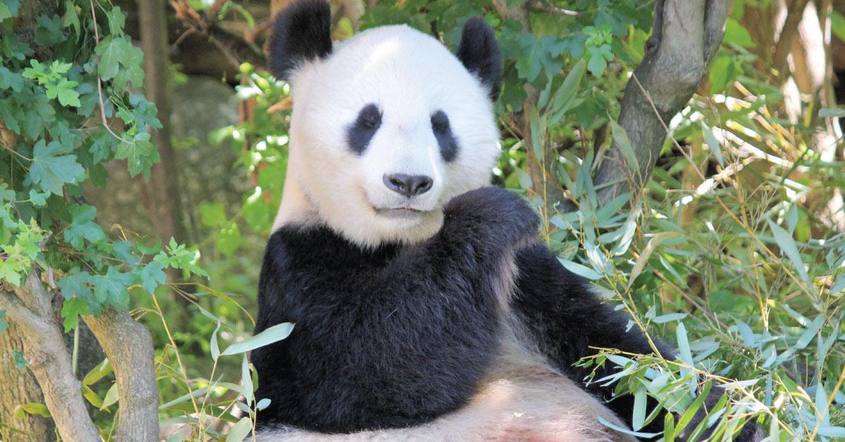Panda eating bamboo BedVoyage